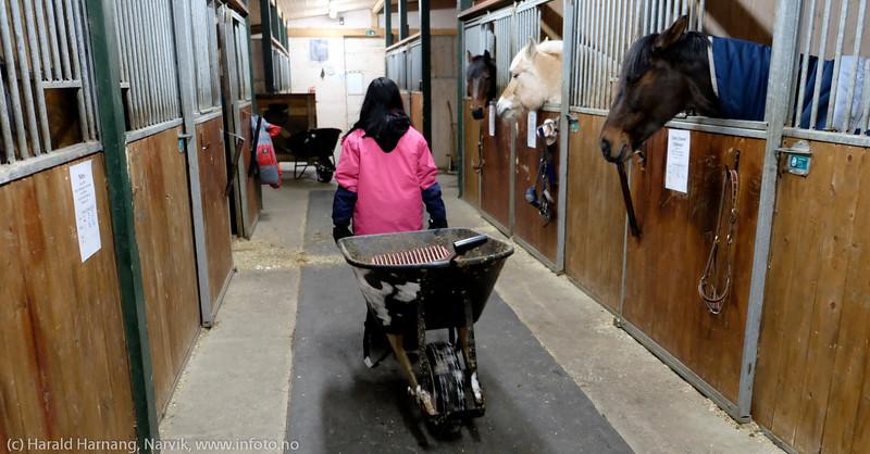 Narvik rideskole, Skjomdalen, fredag kveld 2. juledag 2014. Kveldsfôring for alle hestene, litt møkking og klargjøring for morgenstell. Ute har det vært  skikkelig snøvær.