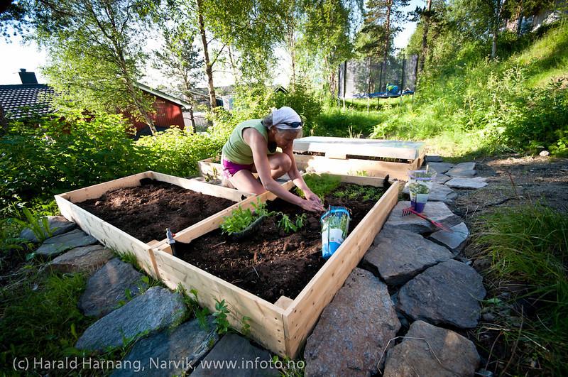 Hagearbeide. Planting av grønnsaker i bed. 4. juli 2011.