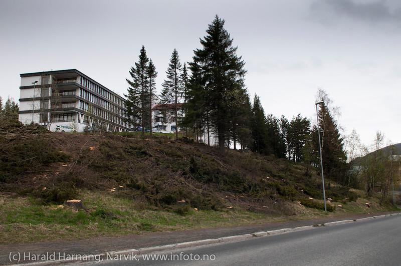 Den gamle granskogen nedenfor sykehushaugen ble kappet i mai 2011. Da var trærne nesten 100 år gamle. Foto i mai 2011.