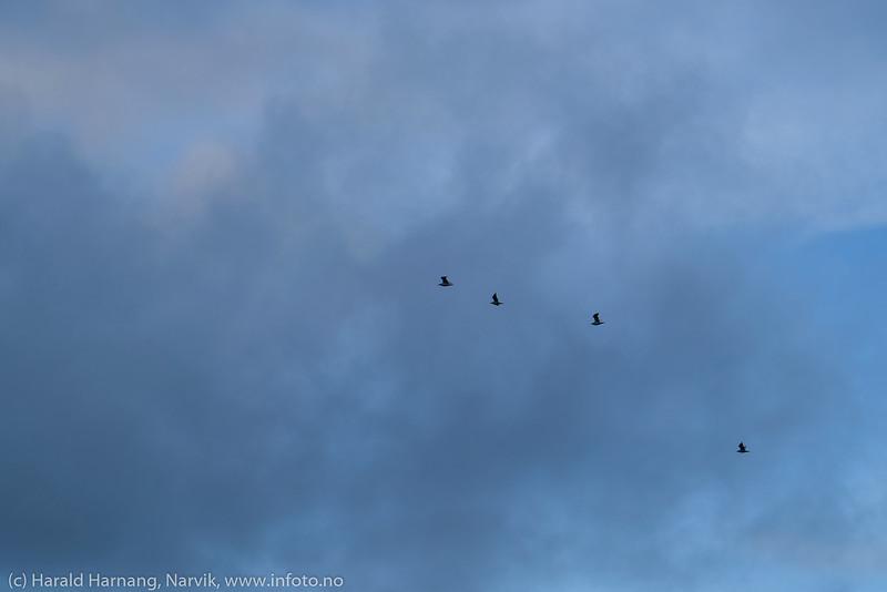 Fire måker i lufta