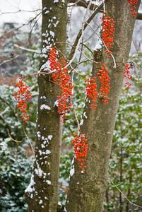 B flora red berries