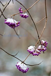 smug mug flora winter berries