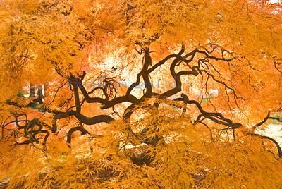 A flora maple