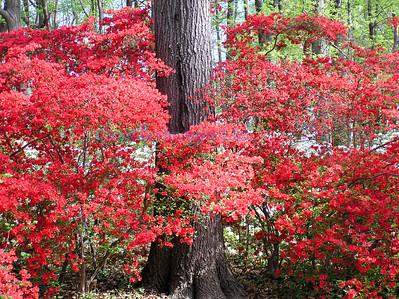 D flora azaleas