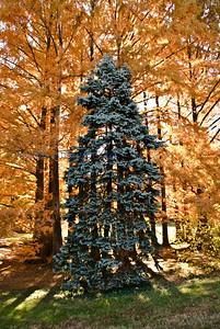 A flora yellow pine
