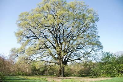 arbo april 2013 oak far
