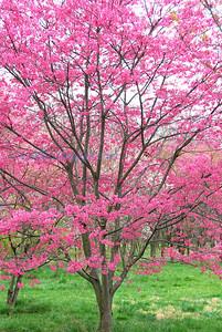M flora cherry tree
