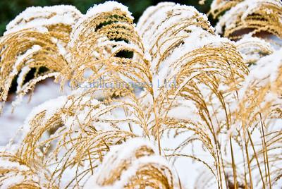 smug mug flora winter wheat