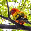 Sun Conure Parrot