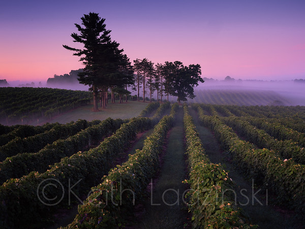A vinyard of at twilight at Cronenwett Farms in Paw Paw Michigan. This vinyard produces table grapes, wine grapes and juice grapes for Welches.