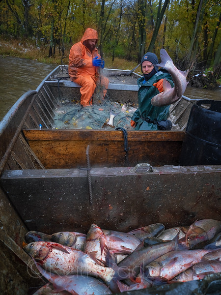 Invasive Asian Carp culling on the Illinois River with the Department of Natural Resources near Ottawa, IL