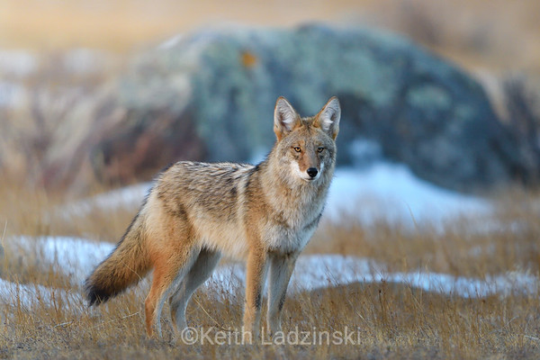 A coyote walking through the meadows of Moraine Valley on a cold winter morning in Rocky Mountain National Park, Colorado