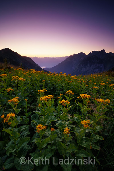 Twilight scene of wildflowers high over Switzerlands Lake Geneva, seen from the french side, high in the mountains above the quaint village of Novel in the french alps, France.