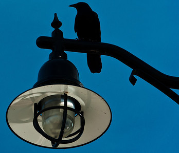 Crow on Streetlight, National Harbor, Maryland