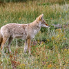 Coyote C 82503 #3 003 Crop Enhance