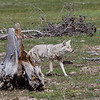 Firehole Coyote-140520-039-Edit