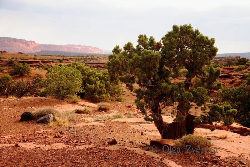<p>Old weathered juniper, Capitol Reef National Park, Utah, USA</p>