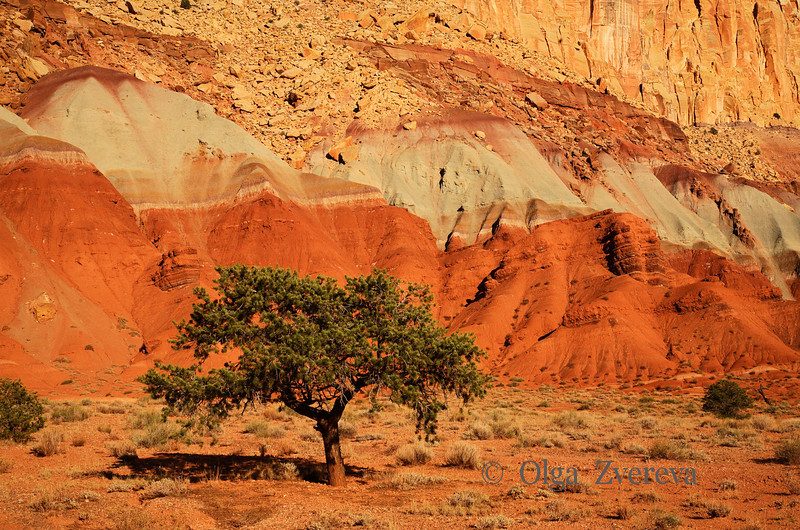 <p>Pine Tree, Capitol Reef National Park, Utah, USA</p>