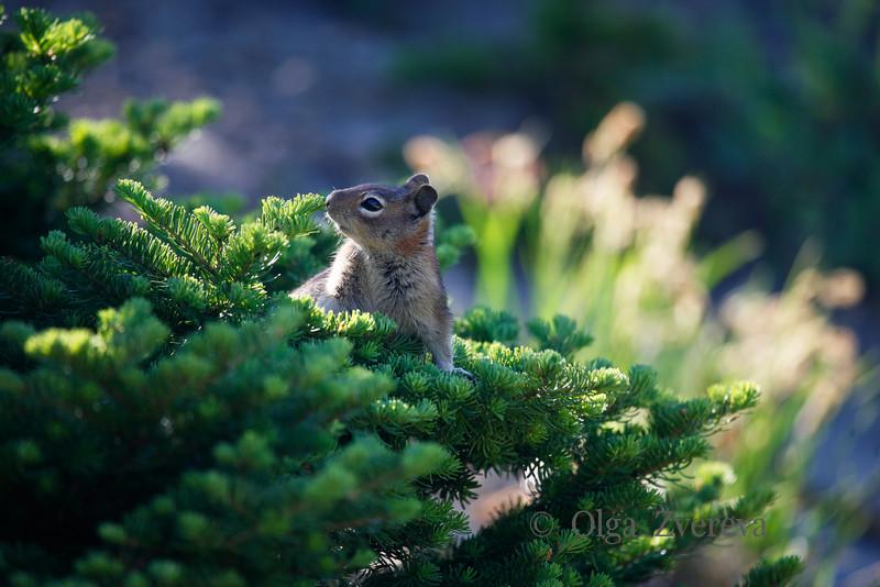 <p>Golden-mantled Ground Squirrel. Mount Rainier National Park, Washington, USA</p>