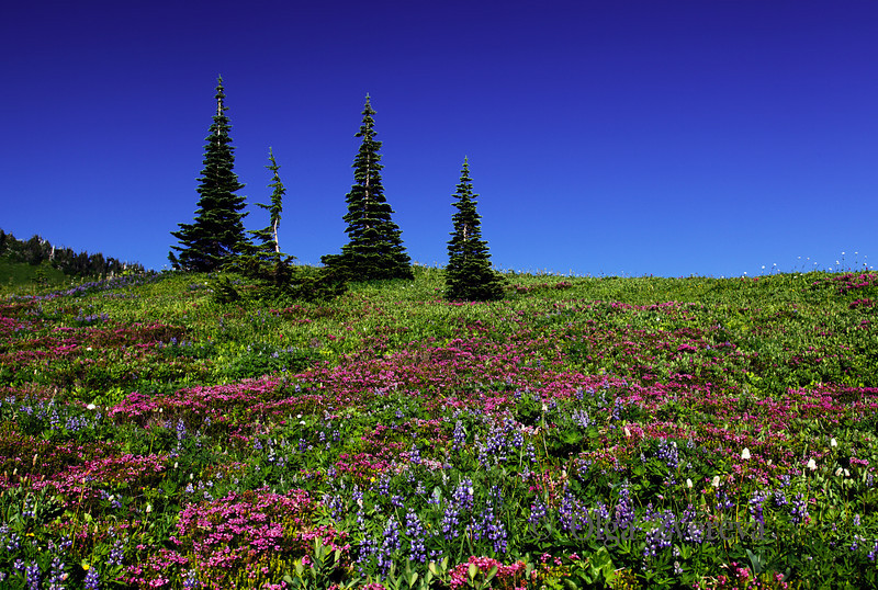 <p>The color of the alpine meadows around the Paradise area at Mt Rainier.</p> <p>Mount Rainier National Park, Washington, USA</p>