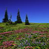 <p>The color of the alpine meadows around the Paradise area at Mt Rainier.</p> <p>Mount Rainier National Park, Washington, USA</p>