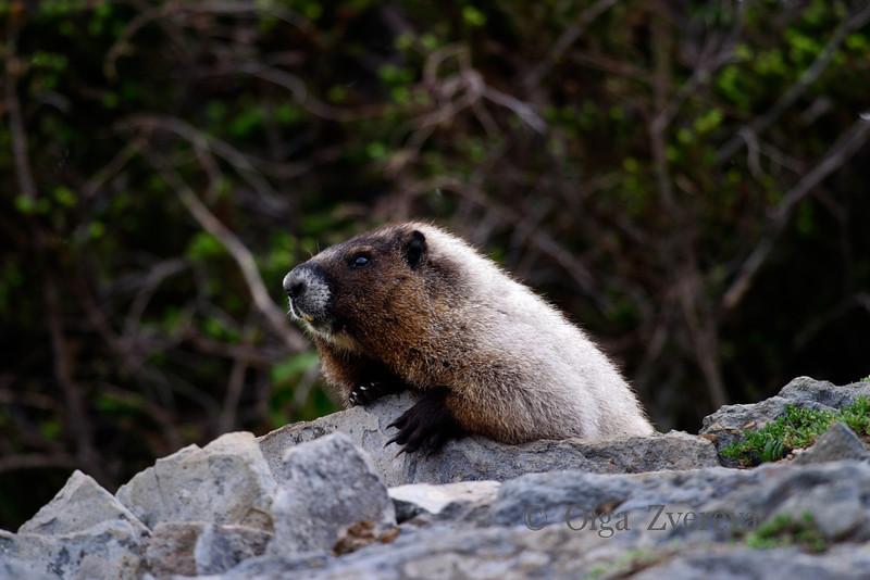 <p>Marmot, Mount Rainier National Park, Washington, USA</p>