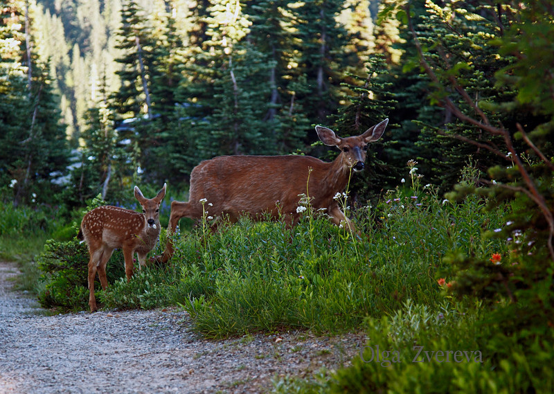 <p>Deers at Mount Rainier National Park, Washington, USA</p>