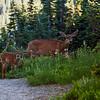 <p>Deers at Mount Rainier National Park, Washington, USA</p>