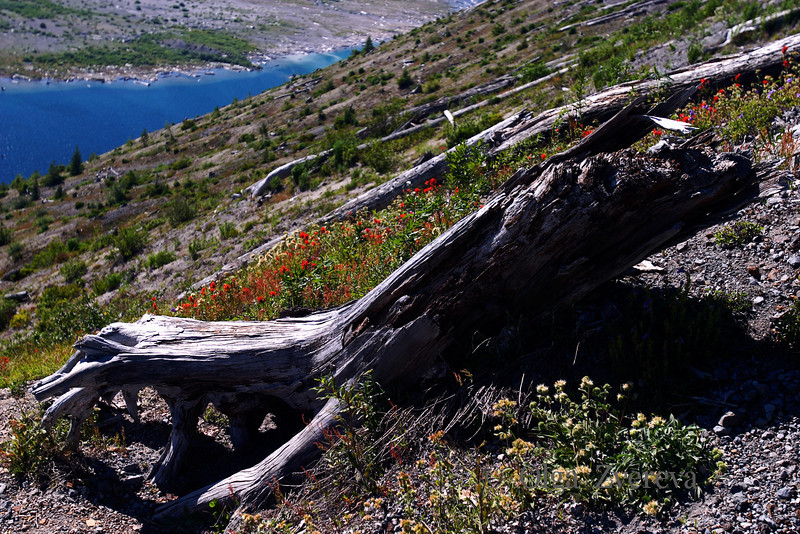 <p>A remnant of the former forest. Windy Ridge Visitor Center.</p> <p>Mount St Helens National Volcanic Monument, Washington, USA</p>