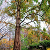 American Redwood Tree in the gardens of the Hardscabble House/Queen Anne's Farm.