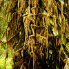 <p>Moss, Hoh Rain Forest, Olympic National Park, Washington, USA</p>