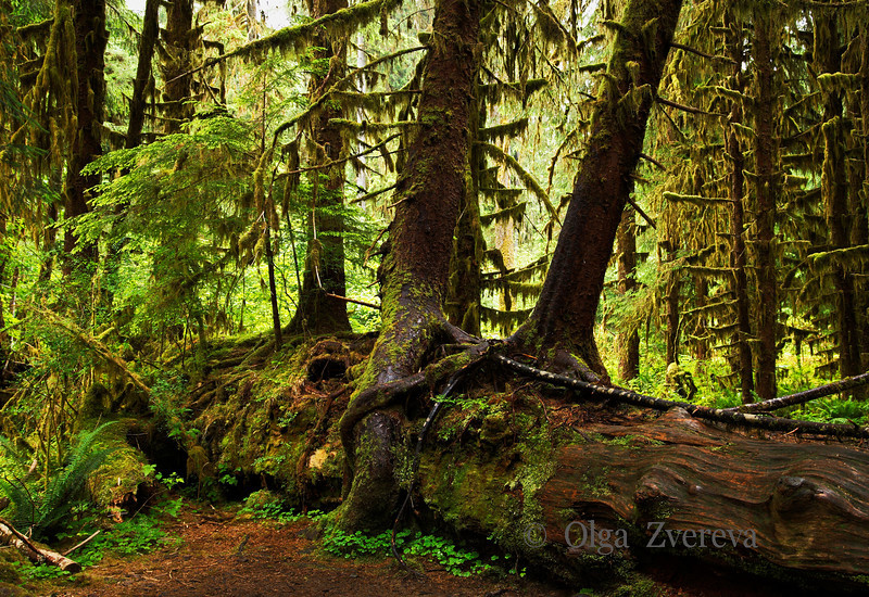 <p>Hoh Rain Forest, Olympic National Park, Washington, USA</p>