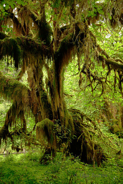 <p>Hoh Rain Forest, Olympic National Park, Washington, USA</p>