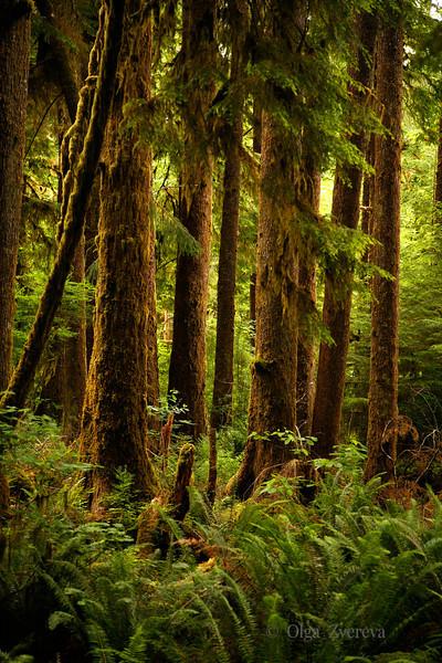 <p>Emerald Paradise. Mossy Trees at Olympic National Park, Washington, USA</p>
