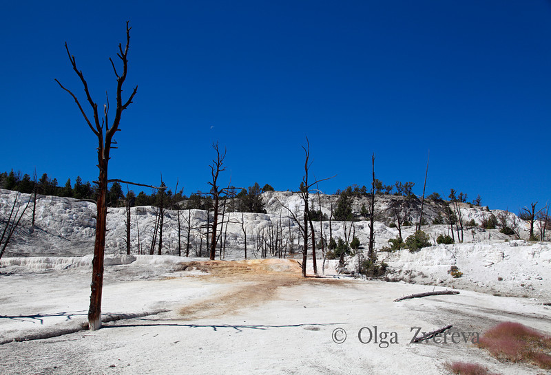 <p>Dead trees at Mammoth Hot Spring area, Yellowstone National Park, USA</p>