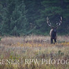 Bull Elk in the Rain