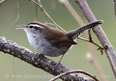 Bewick's Wren at Nisqually National Wildlife Refuge in Washington.  Photo taken along the Twin Barns Loop Trail.