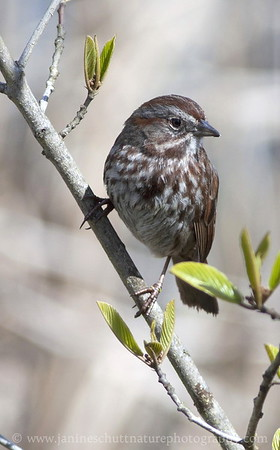Song Sparrow at Nisqually National Wildlife Refuge in Washington.  Photo taken from the pond overlook by the visitor center.