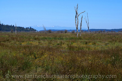 A view of the habitat restoration at Nisqually National Wildlife Refuge in Washington.  The Olympic Mountains are seen in the background.  Photo taken from the Dike Trail.