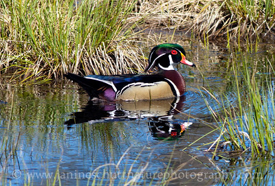 Male Wood Duck at Nisqually National Wildlife Refuge in Washington. Photo taken from the pond overlook by the visitor center.