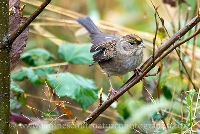 Golden-crowned Sparrow in non-breeding plumage.  Photo taken at Nisqually National Wildlife Refuge near Olympia, Washington.