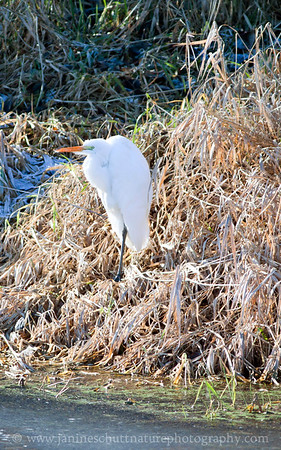 Great Egret standing next to a frozen pond at Nisqually National Wildlife Refuge in Washington.  Photo taken from the Nisqually Estuary Trail.