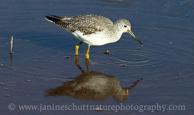 Greater Yellowlegs in non-breeding plumage at Nisqually National Wildlife Refuge in Washington.  Photo taken from the Nisqually Estuary Trail.