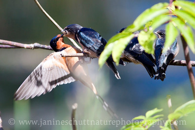 Young barn swallows taking turns receiving gourmet insects for lunch at Nisqually National Wildlife Refuge in Washington.  Photo taken from the pond overlook by the visitor center.