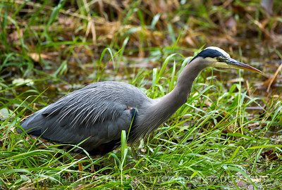Great Blue Heron at Nisqually National Wildlife Refuge in Washington.  Photo taken from the Twin Barns Loop Trail.
