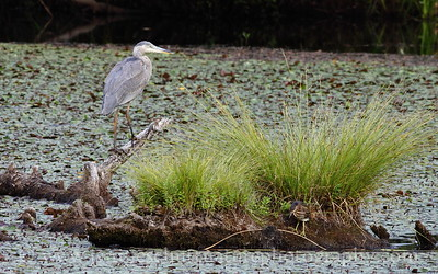 Heron comparison.  Great Blue Heron and Green Heron at Nisqually National Wildlife Refuge in Washington.  Photo taken from the Wetlands Overlook along the Twin Barns Loop Trail.