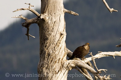 Male Sooty Grouse on a snag at the Blast Edge Viewpoint by the NE entrance of the monument.