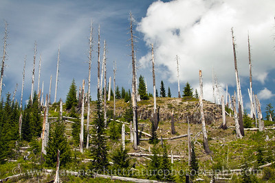 A tale of two forests.  View of the Scorch Zone and new growth along NF-99.  Photo taken in June 2015.