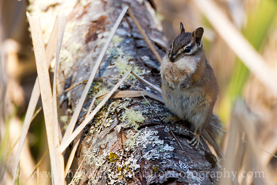 """Bearded"" Townsend's Chipmunk holding cattail fluff for nesting material.  Photo taken along the Hummocks Trail."