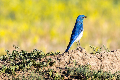 Male Mountain Bluebird by the Old East Entrance Trail.